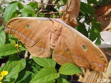 Antheraea pernyi / Martináč čínský (dubový)